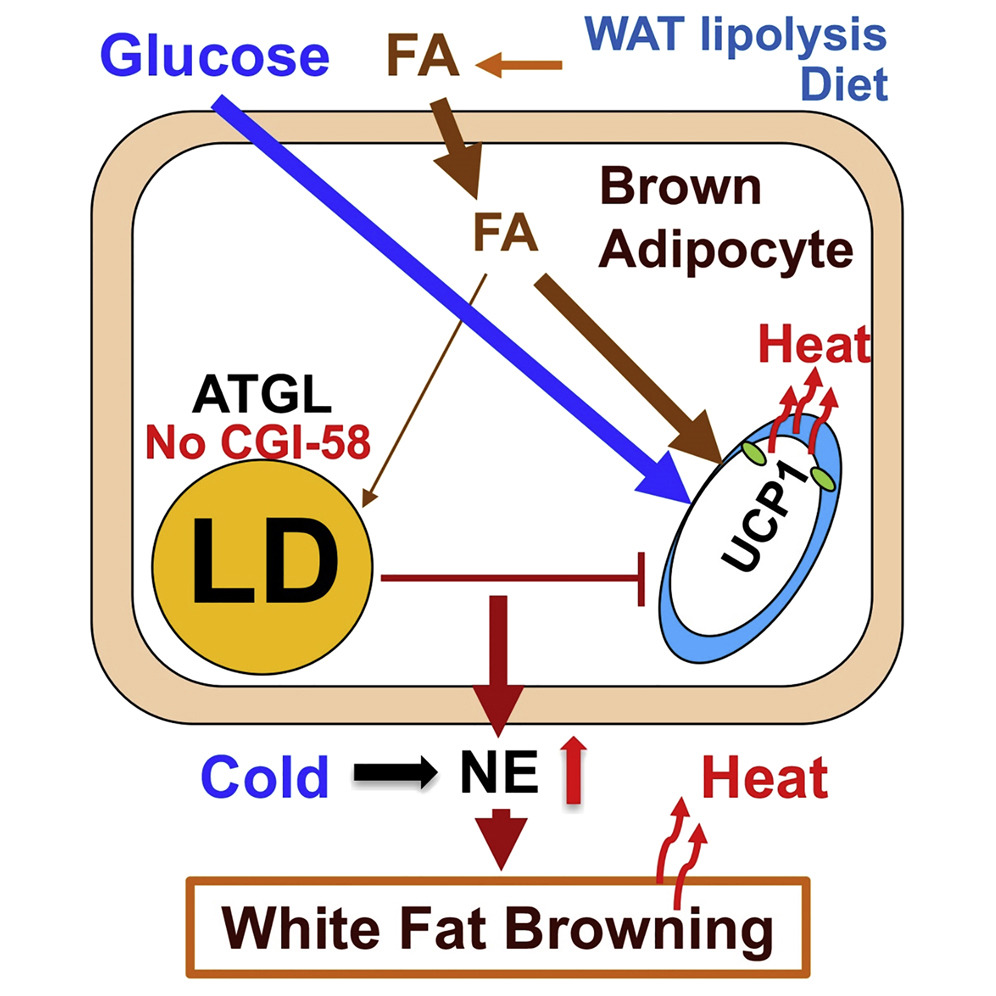 white fat cell diagram domestic electricity wiring lipolysis in brown adipocytes is not essential for cold induced download hi res image