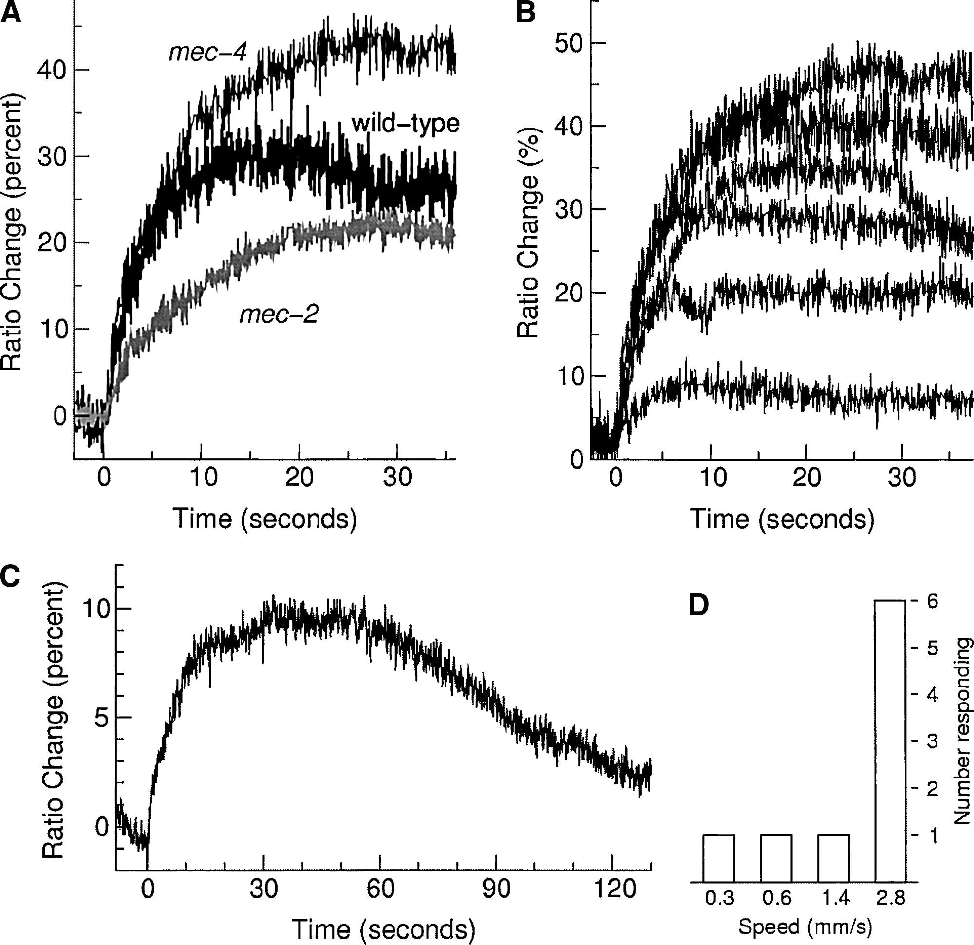 In Vivo Imaging of C. elegans Mechanosensory Neurons