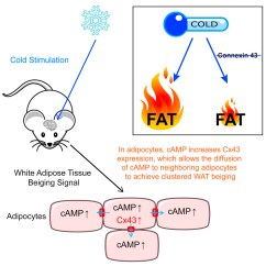 White Fat Cell Diagram Which Represents Anaphase I Of Meiosis Connexin 43 Mediates Adipose Tissue Beiging By Facilitating Download Hi Res Image