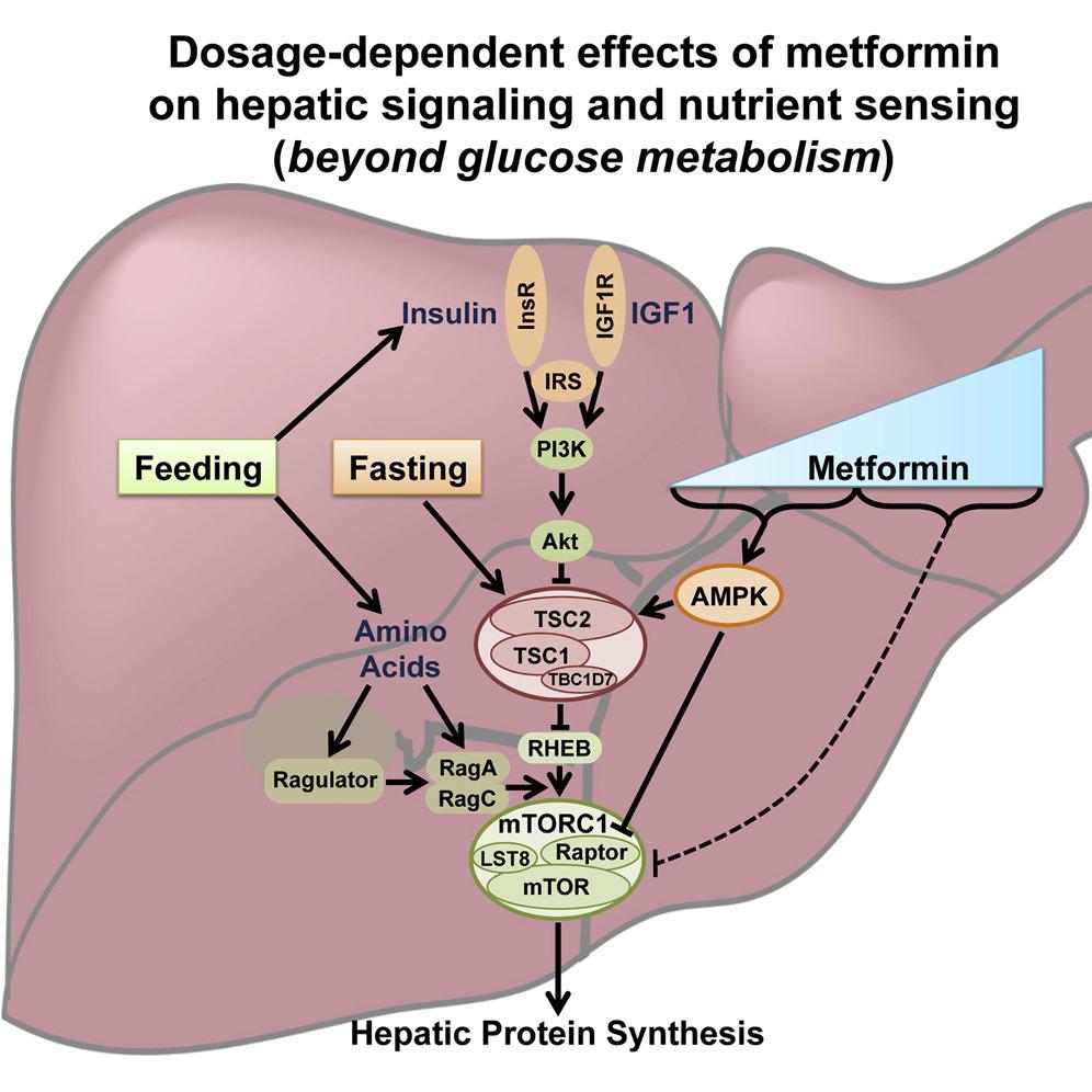 Metformin Inhibits Hepatic mTORC1 Signaling via Dose ...