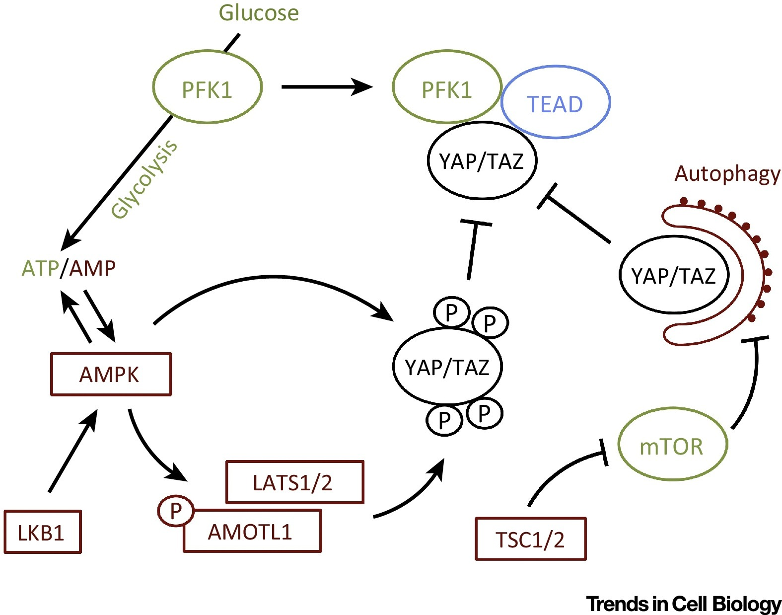 Control Of Yap Taz Activity By Metabolic And Nutrient Sensing Pathways Trends In Cell Biology