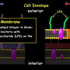 Gram Positive Cell Wall Diagram Vdo Marine Tachometer Wiring Interactive Bacteria Model