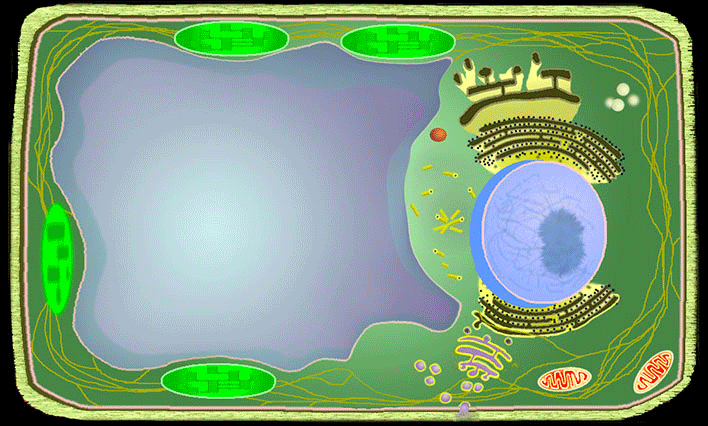 Plant Cell Model Diagram
