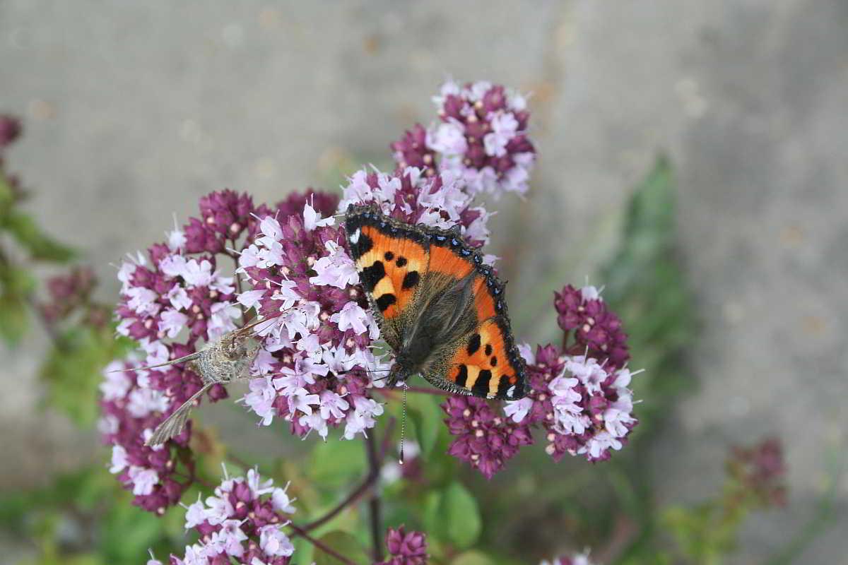 Schmetterlinge an einer Dostblüte