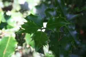 (Blätter der Stechpalme)