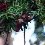 eibenfrucht