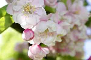 (Blüten des Wildapfels)