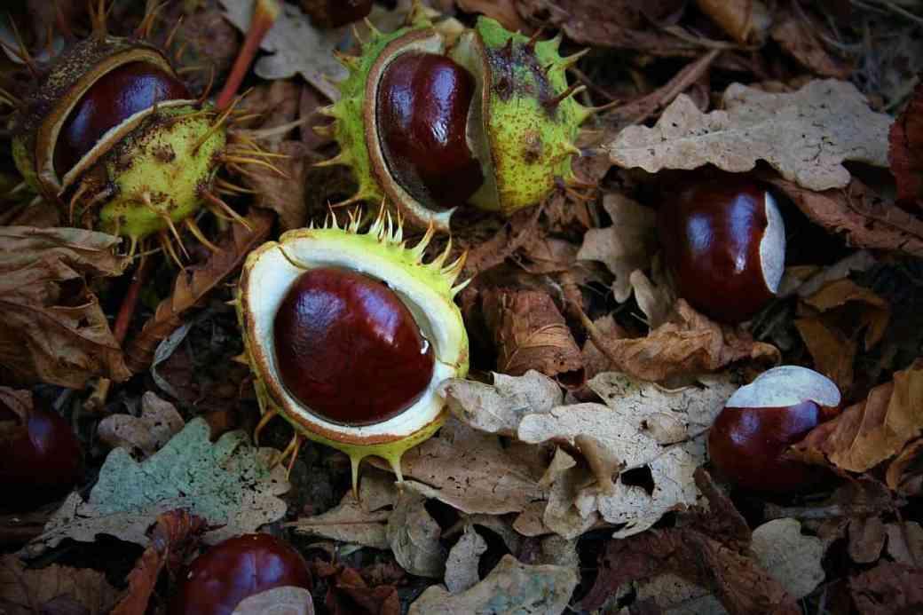 Rosskastanien im Herbst