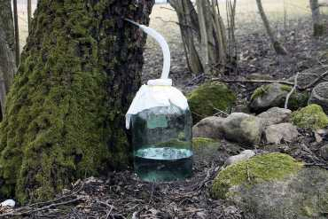 Birkensaft zapfen
