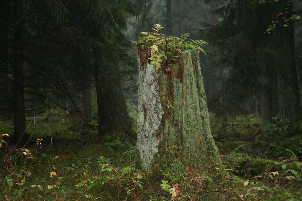 Einsamer Baumstumpf im Wald