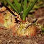 Färberpflanze Zwiebel