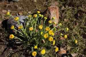 Frühlingsblüher Huflattich