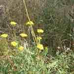 Goldgarbe als Färberpflanze