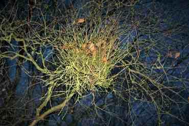 Hesenbesen auf einem Baum