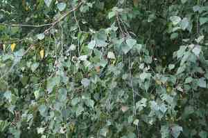 Birkenblätter Waschmittel