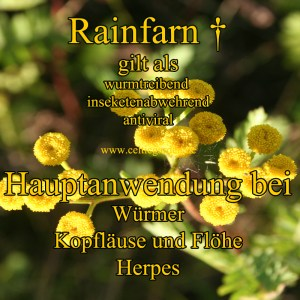 Rainfarn Steckbrief