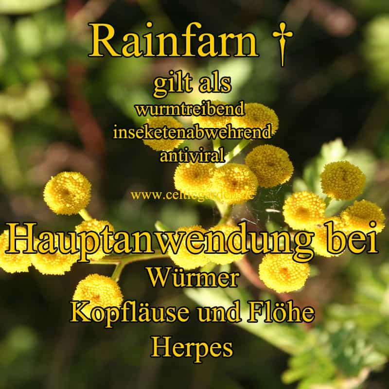 Rainfarn Steckbrief