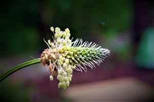 Spitzwegerichblüte