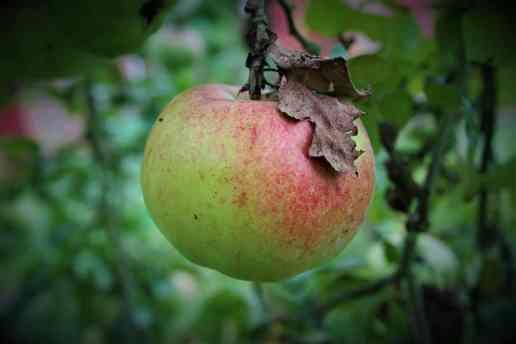 Äpfel zum Erntedankfest