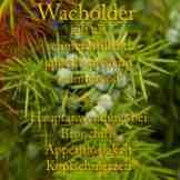 Wacholder Steckbrief