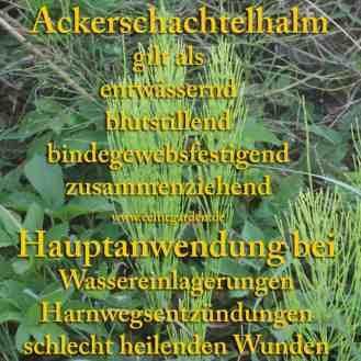 Acker-Schachtelhalm Steckbrief