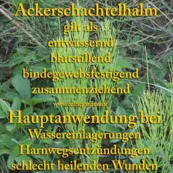 Heilpflanze Ackerschachtelhalm
