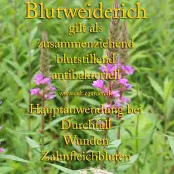 heilpflanze_blutweiderich