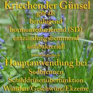heilpflanze_günsel