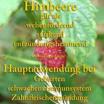 heilpflanze_himbeere