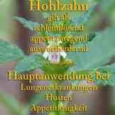 Steckbrief Hohlzahn