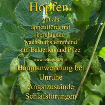Steckbrief Hopfen