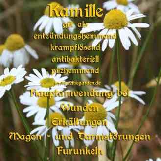 Steckbrief Kamille