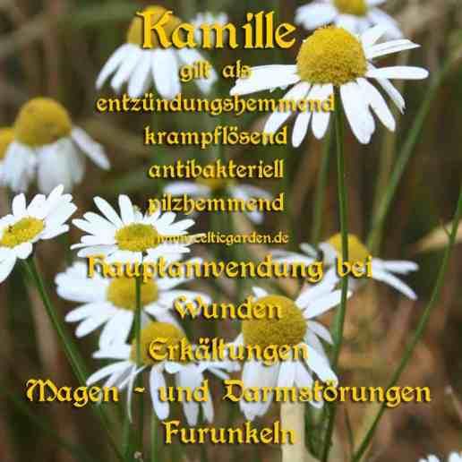 heilpflanze_kamillekl