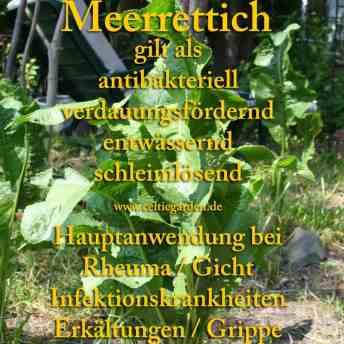 heilpflanze_meerrettich