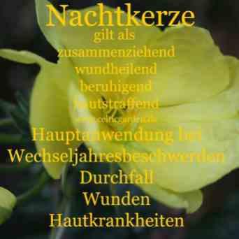 heilpflanze_nachtkerzekl