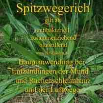 heilpflanze_spitzwegerichkl