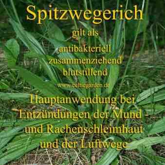 Spitzwegerich Steckbrief