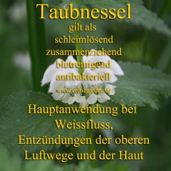 taubnessel monographie