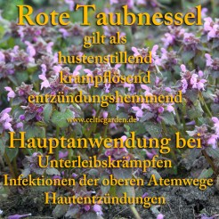 Steckbrief Taubnessel, rot