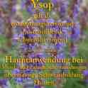 heilpflanze_ysop