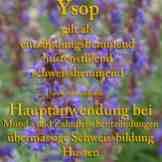 Steckbrief Ysop