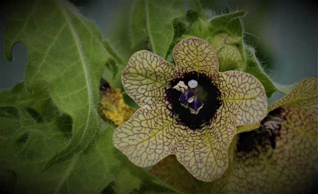 Das Bilsenkraut in der Pflanzenmagie