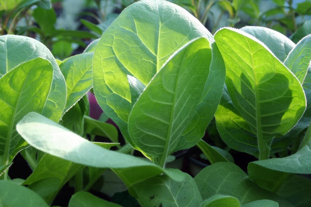 Tabak anbauen ~ ernten ~ verwenden