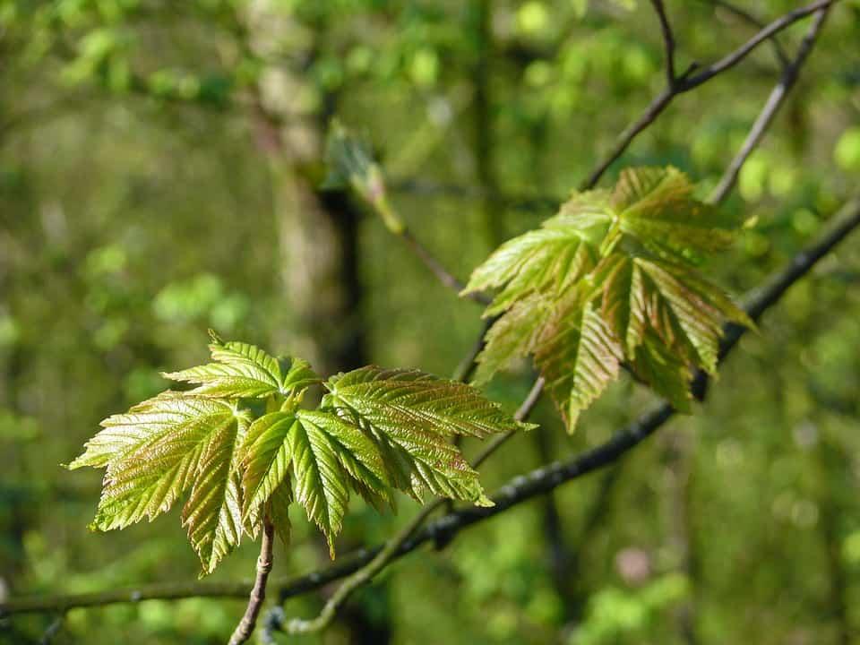 junge ahornblätter
