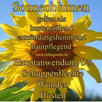 Steckbrief Sonnenblume