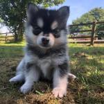 Pomsky Puppies For Sale Celtic Star Uk Pomsky Breeder