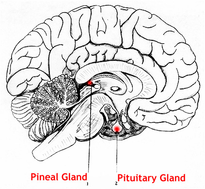 The Piezoelectric Effect and the Pineal Gland in the Human