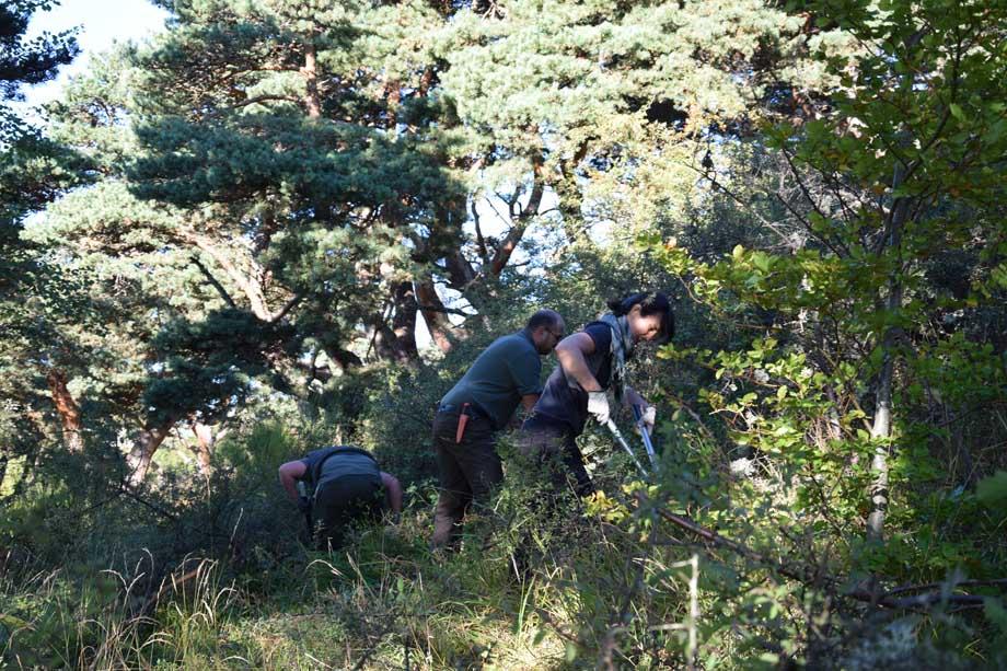 Le débroussaillage des prunelliers s'effectue avec des sécateurs de force.