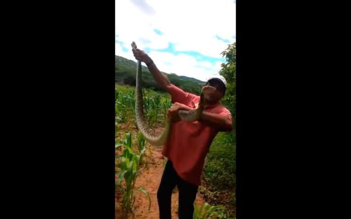 homem segurando cobra cascavel no milharal