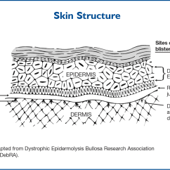 Skin Layers Diagram Labeled Simple Pork Butcher Cuts Centering The Focus Epidermolysis Bullosa Center To Cure